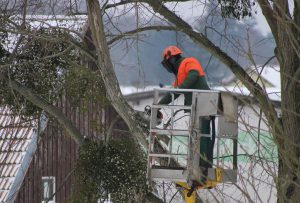 trimming a tree in winter